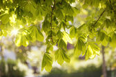Leaves of a chestnut tree (Aesculus hippocastanum) in spring — Stock Photo