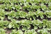 Young salad plants (lactuca sativa) — Stock Photo