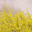 Blooming Forsythia bush on grunge background — Stock Photo #51321433