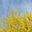 Blooming Forsythia bush on grunge background — Stock Photo #51321439
