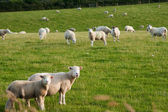 Grazeing lambs — Stock Photo