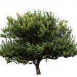 Tree isolated — Stock Photo #12774226