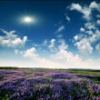 Stock Photo: Lavender field at end of day