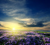 Lavender field at the end of the day — Stock Photo