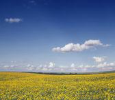 Landschap met zonnebloemen — Stockfoto