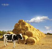 Haystacks on the field. — Stock Photo