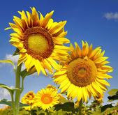 Biene und sonnenblume — Stockfoto