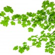 Branch of maple. — Stock Photo #32528829