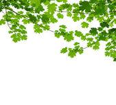 Maple branch — Stock Photo