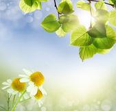 Wild chamomile, medicinal — Stock Photo