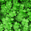 Stock Photo: Expanse of four-leaf clovers