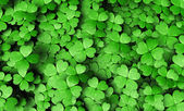 Expanse of four-leaf clovers — Stock Photo