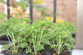 Fresh curly parsley growing on the window sill — Stock Photo