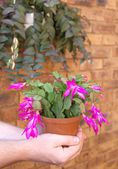 Shlumbergera - cactus de navidad en las manos del hombre — Foto de Stock