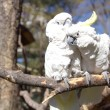 Couple of white cockatoo parrots in love — Stockfoto