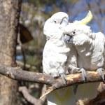 paar weißen Kakadu Papageien verliebt — Stockfoto