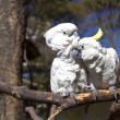 Stock Photo: Couple of white parrots in love