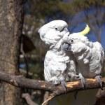 paar weißen Papageien verliebt — Stockfoto