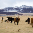 Icelandic Horses — Stock Photo #24398199