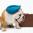 Bulldog — Stockfoto