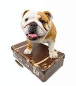 Bulldog — Stock Photo
