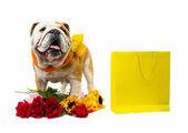 Bulldog — Foto Stock