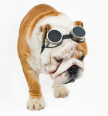 Bulldog — Stock Photo