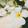 White and yellow frangipani flowers — Stock Photo #13873954