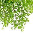 Groene blad geïsoleerd op witte achtergrond — Stockfoto
