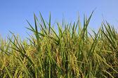 Ear of rice — Stock Photo