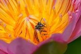 Rosa lotus in thailand — Stockfoto