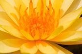 Tayland sarı lotus — Stok fotoğraf
