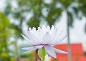 Riprese macro di lotus. — Foto Stock