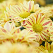 Yellow autumn chrysanthemum — Stock Photo