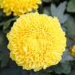 Yellow autumn chrysanthemum - Stock Photo
