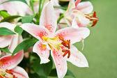 Beautiful pink lily close up — Stock Photo