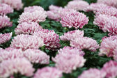Pink autumn chrysanthemum — Stock Photo