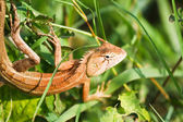 Lizards in Thailand. — Stock Photo