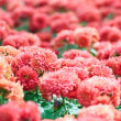 Pink chrysanthemum. — Stock Photo