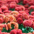Pink chrysanthemum. — Stock Photo #22022991