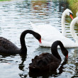 White Swans to Black Swans. — Stock Photo #22037989