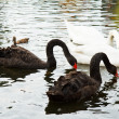White Swans to Black Swans. — Stock Photo