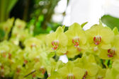 Yellow orchid flowers — Stock Photo