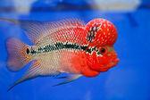 Flowerhorn Cichlid fish in the aquarium — Stock Photo