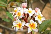 Frangipani flowers. — Stock Photo