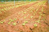 Planted lettuce. — Stock Photo