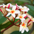 Frangipani flowers. - Stock Photo