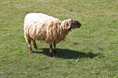 Sheep grazing in a field. — Stock Photo
