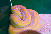 Reticulated python — Stock Photo