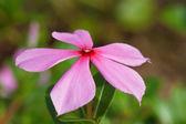 Pink roseus flowers in garden. — Stock Photo